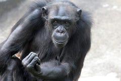 Gorilla. Close-up portrait of a gorilla Stock Images