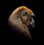 Gorilla Close up portrait isolated on black Royalty Free Stock Images