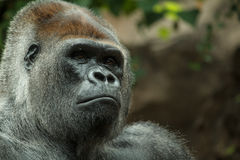 Gorilla close up portrait. Portrait of a male gorilla taken in Tenerife Royalty Free Stock Photography