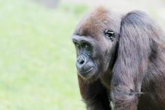 Gorilla closeup Stock Image