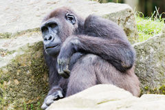 Gorilla closeup Stock Images