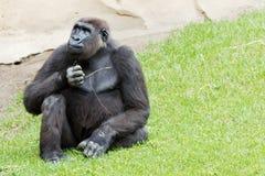 Gorilla closeup Stock Photography