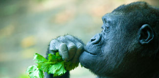 Gorilla Closeup Imagenes de archivo