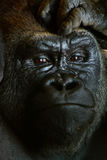 Gorilla closeup portrait with hand over forehead. Looking into camera Royalty Free Stock Photography