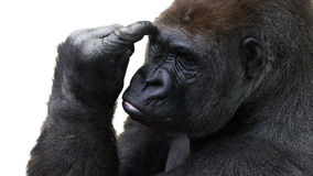 Gorilla. Closeup portrait of a gorilla thinking Royalty Free Stock Photography