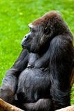 Gorilla of coast,  Gorilla gorilla Stock Photos