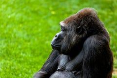 Gorilla of coast,  Gorilla gorilla. Beautiful specimen of gorilla seated placidly Stock Photos