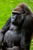 Gorilla of coast,  Gorilla gorilla Stock Photography