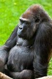Gorilla of coast,  Gorilla gorilla. Beautiful specimen of gorilla seated placidly Royalty Free Stock Images