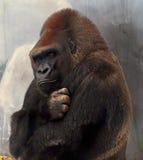 Gorilla con l'atteggiamento fotografia stock libera da diritti