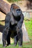 Gorilla Stock Image