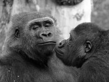 Gorilla couple with a macho male. Black and white image of a primate couple close together stock photos