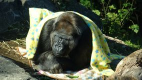Gorilla covered in yellow blanket royalty free stock image