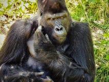 Gorilla curiosa con lo sguardo fisso intenso immagine stock libera da diritti