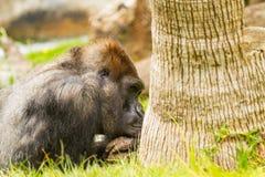 Gorilla Daydream Stock Image