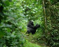 Gorilla in de Afrikaanse wildernis Stock Afbeelding