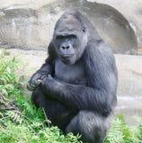 Gorilla. De grote aap. Stock Foto