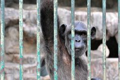 Gorilla in de Kooi Stock Afbeelding