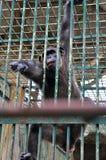 Gorilla in de Kooi Royalty-vrije Stock Foto