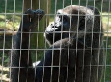Gorilla in de kooi Stock Foto's