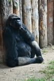 Gorilla deep in thought. In the zoo stock image