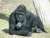 Gorilla in Deep Thought. Gorilla in a pose as if he was thinking about something Stock Images
