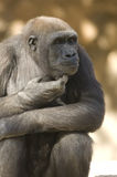 Gorilla in Deep Thought. A female gorilla rubs her chin and stares off in the distance as if contemplating deep thoughts royalty free stock photo
