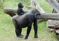 Gorilla del bambino Fotografia Stock Libera da Diritti