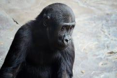Gorilla del bambino Immagini Stock Libere da Diritti