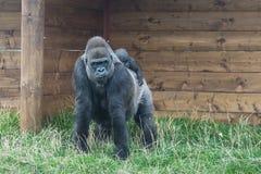 Gorilla del bambino e della madre Fotografie Stock