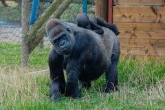 Gorilla del bambino e della madre Fotografia Stock Libera da Diritti