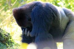 Gorilla del maschio del ritratto Fotografia Stock Libera da Diritti