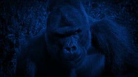 Gorilla del Silverback che mangia le piante alla notte video d archivio