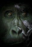 Gorilla del Silverback dal lato oscuro Fotografia Stock Libera da Diritti