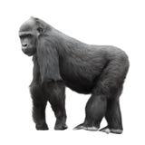 Gorilla del Silverback isolata su bianco Fotografie Stock Libere da Diritti