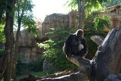 Gorilla del Silverback a riposo con l'alone leggero Fotografia Stock Libera da Diritti