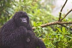 Gorilla della montagna Fotografie Stock Libere da Diritti