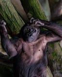 Gorilla della pianura Immagini Stock Libere da Diritti