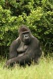 Gorilla della pianura Immagini Stock