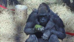 Gorilla dello zoo che mangia il suo pranzo video d archivio