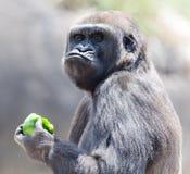 Gorilla, der Apfel isst Lizenzfreie Stockbilder