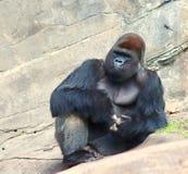 Gorilla, der auf den Felsen kühlt Stockfotos