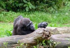 Gorilla, der auf einem Baum stillsteht Stockfotografie