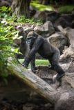 Gorilla, der auf einem Felsen sitzt Lizenzfreie Stockfotos