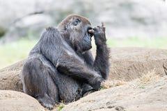 Gorilla, der auf einem Felsendenken sitzt Lizenzfreie Stockfotos