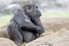 Gorilla, der auf einem Felsendenken sitzt Stockfoto