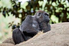 Gorilla, der auf einem Felsendenken sitzt Lizenzfreies Stockbild