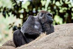 Gorilla, der auf einem Felsendenken sitzt Lizenzfreies Stockfoto
