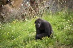 Gorilla, der auf einem Gebiet von Blumen sitzt Lizenzfreie Stockbilder