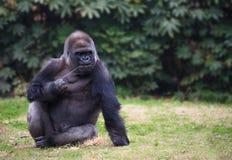 Gorilla, der auf einem Gras sitzt Stockfoto